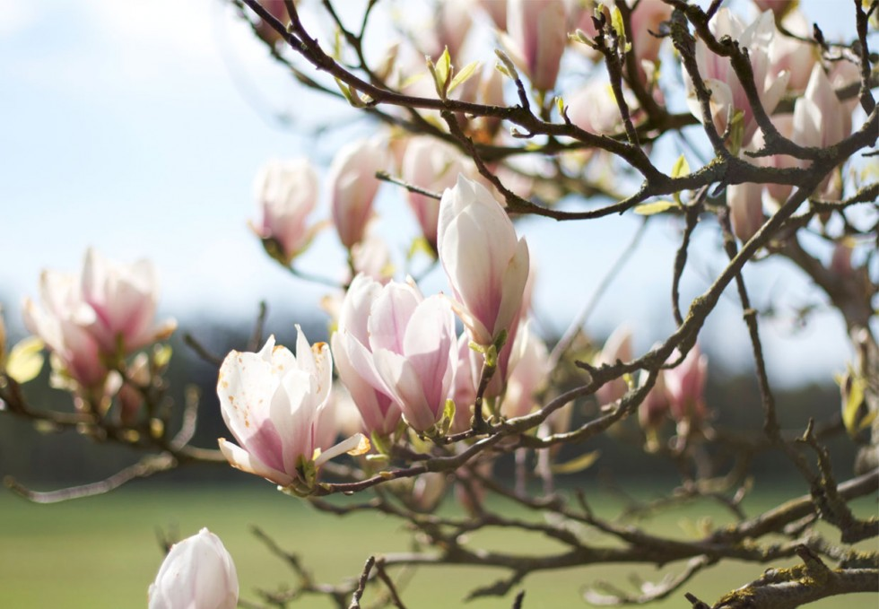 magnolia-blossom