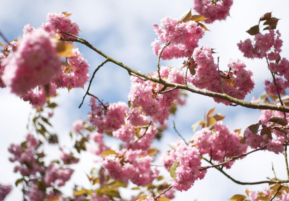 spring-summer-cherry-blossom