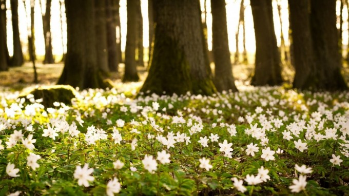 flowers_small_white_green_trees_forest_nature_33746_1920x1080