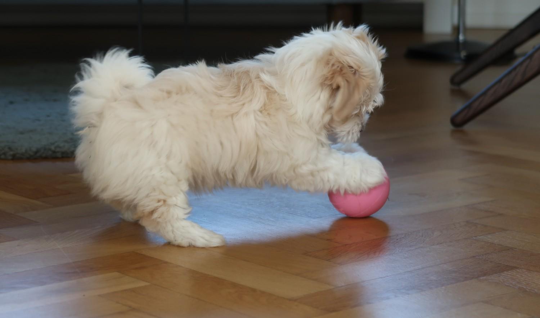 hundehvalp-bold