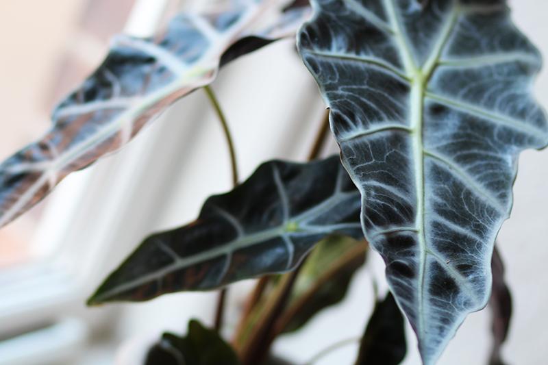 plante Alocasia planter blog Amy Dyrholm tre gode køb billige køb over the knee boots Asos By Garmi plakat poster Kiwi billige planter tips lejlighed