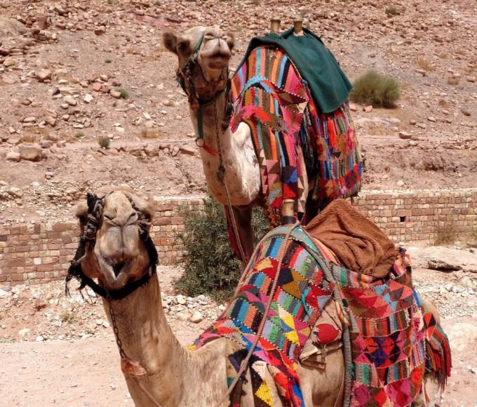 Dromedarer ved Petra i Jordan. Foto: Karen Seneca