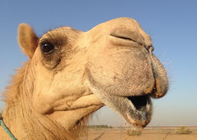 Kameler er noget af det man skal opleve i Dubai. Her ansigtet på en.