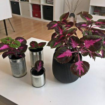 paletblad coleus
