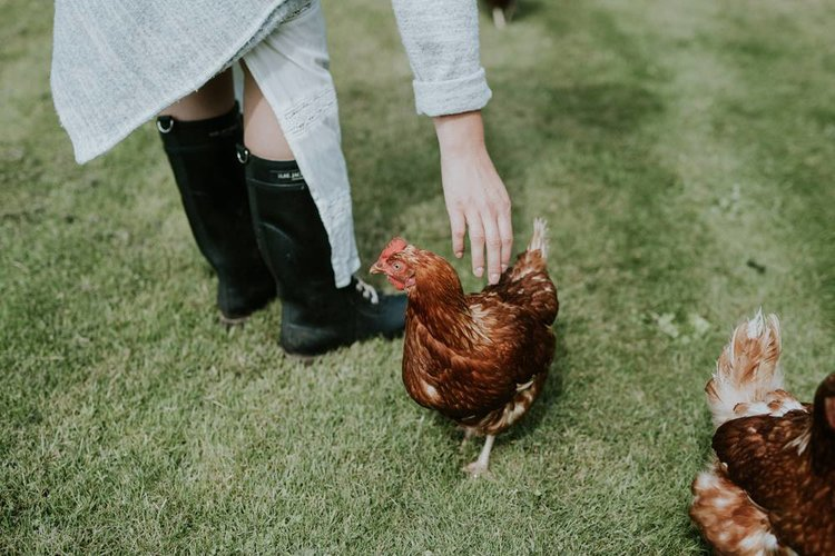 høns selvforsyning