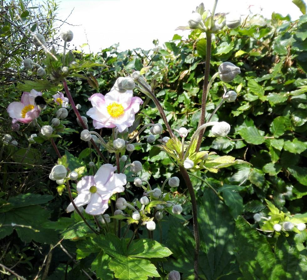 høstanemone blomster fra kolonihaven