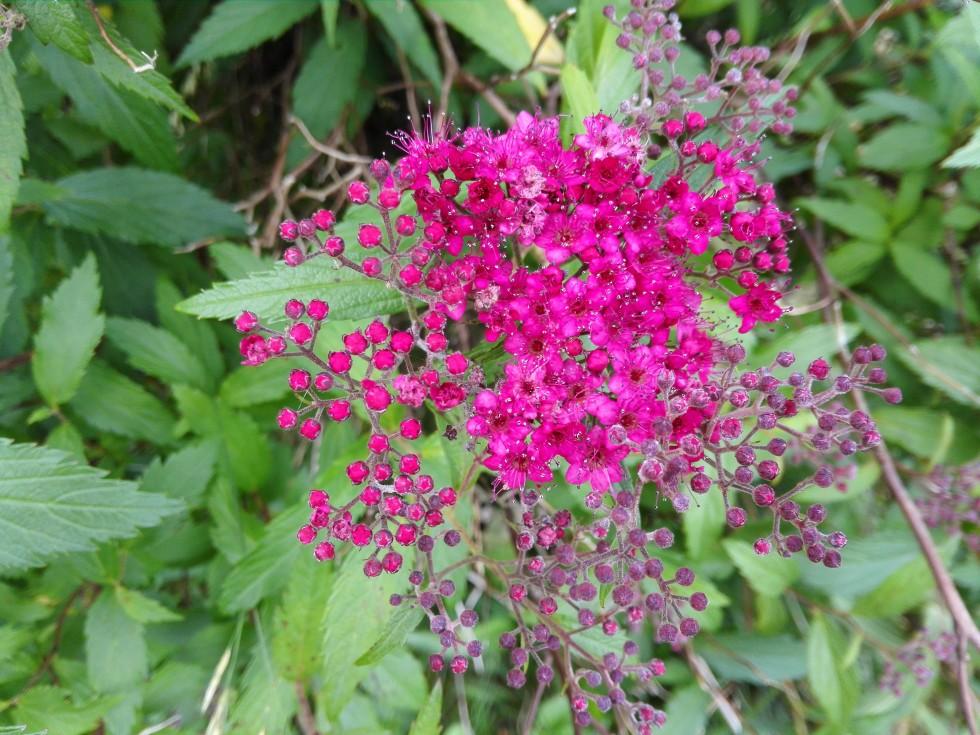 staude blomster fra kolonihaven