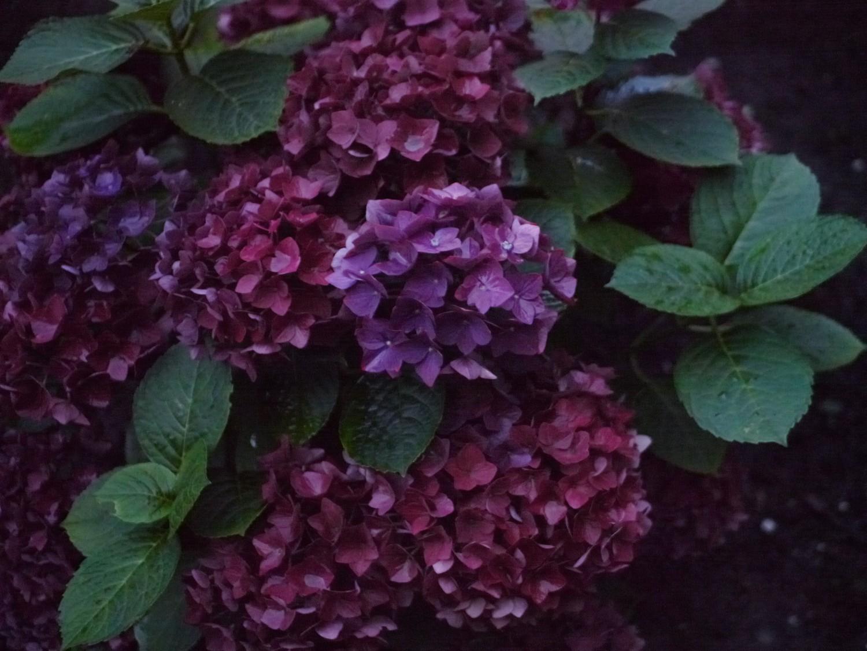 hortensia mørklilla