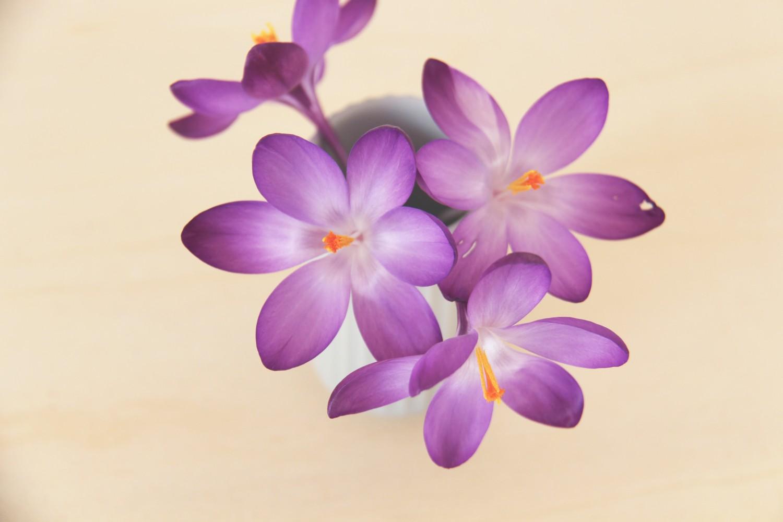 krokus-blomst