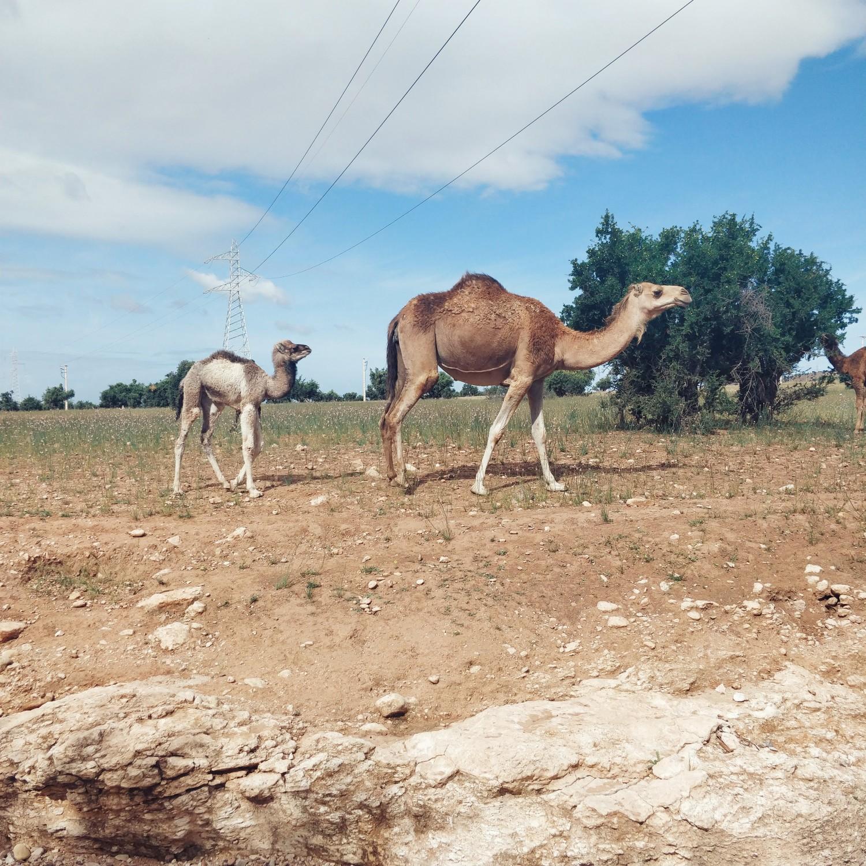agadir-camels