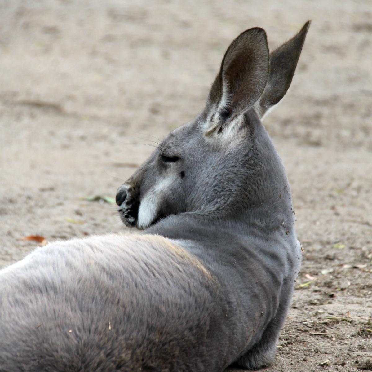 Australien rejse kænguru urbannotes.dk rejseblogger drømmerejse