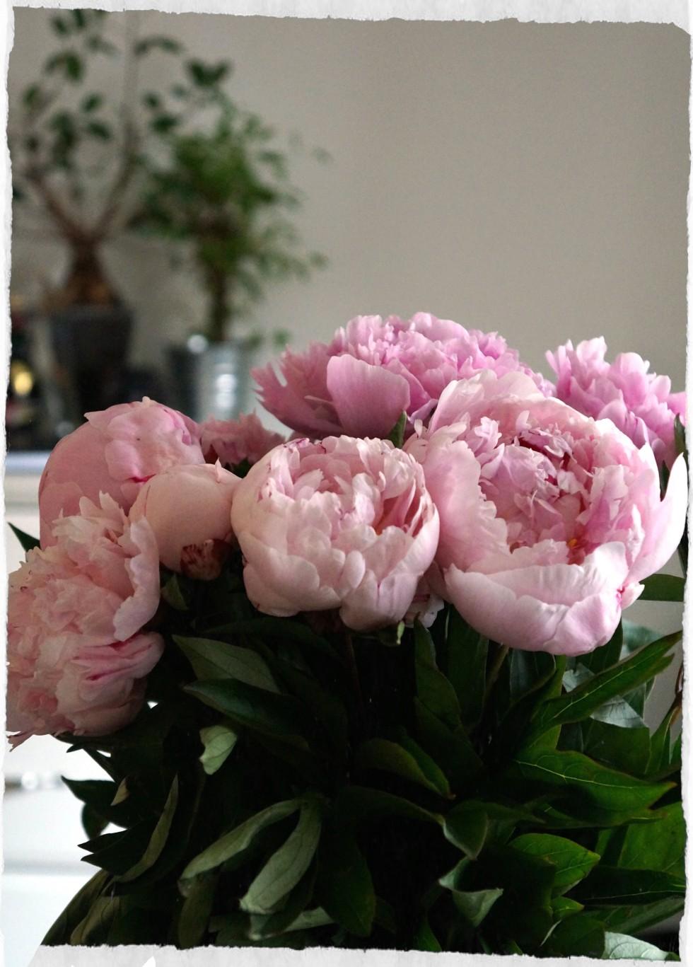 hydrania rose