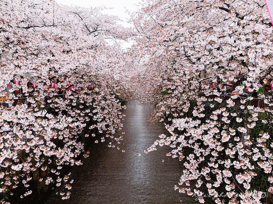 cherry-blossom-sakura-31