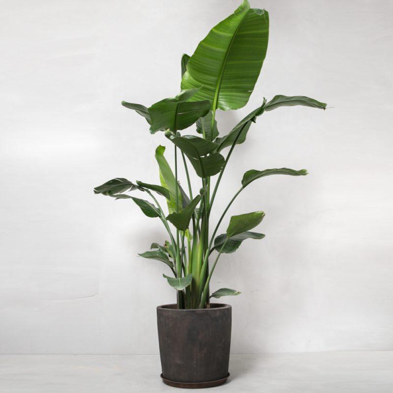 strelitzia-nicolai-moerk-lerkrukke-greenify-paradisfugl-1-e1497447803305-2