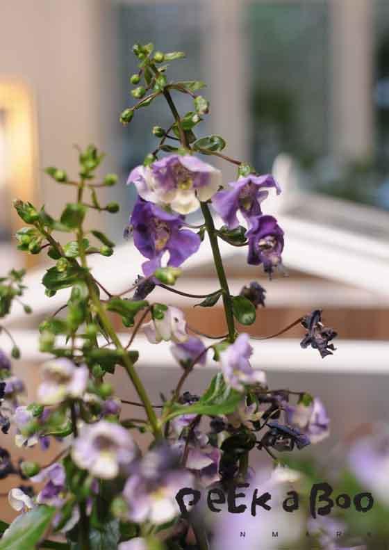 smuk blomst...kender desværre ikke sorten...