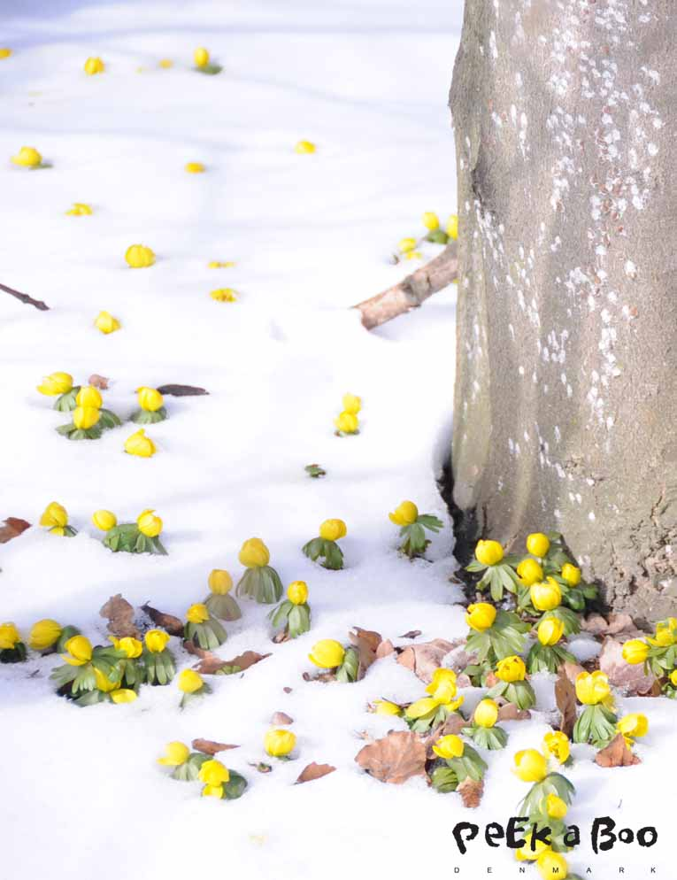 winter aconite trying to break through the snow...march 2013 Copenhagen.