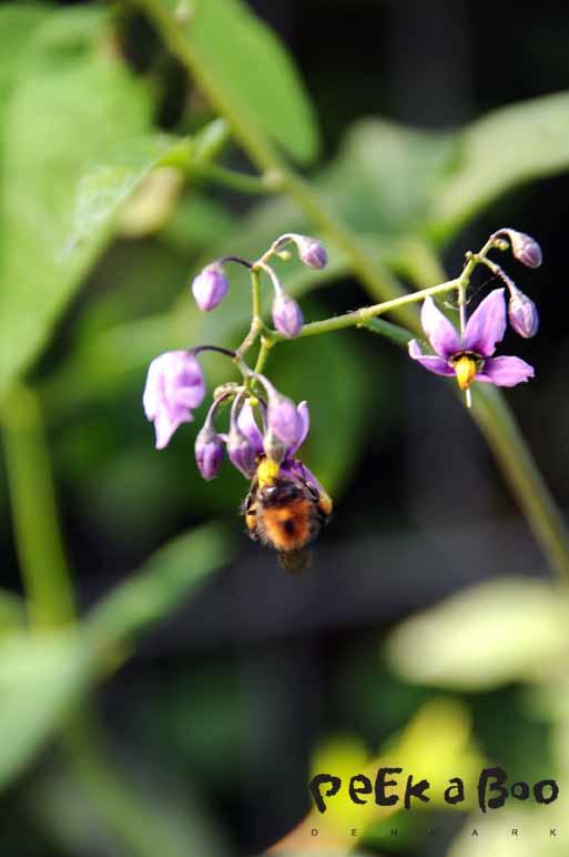 Smukkeste lille blomst, som brumbassen heller ikke kunne stå for. Photo by Lene Nissen.