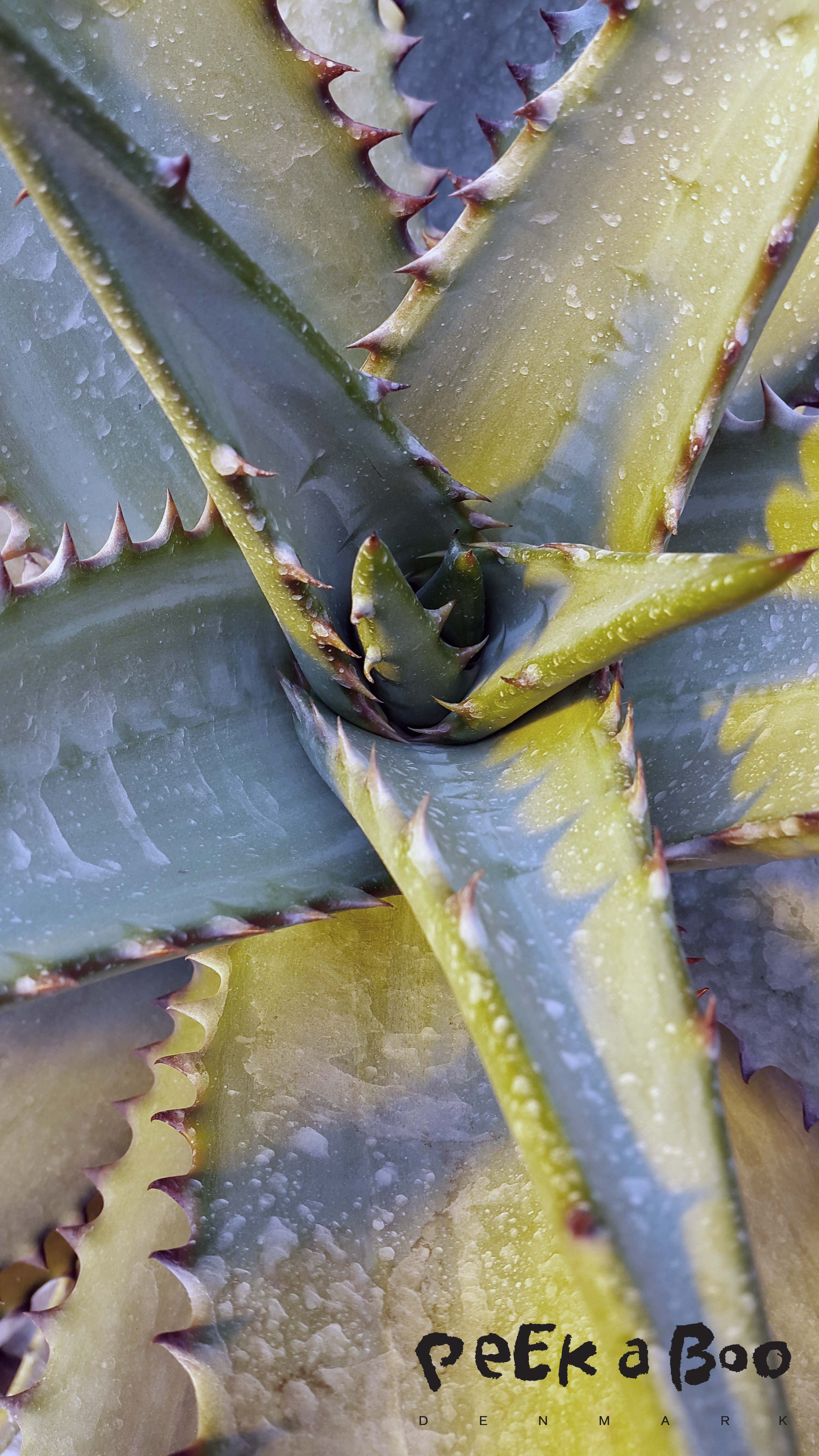 Agave is one of my favorite plants