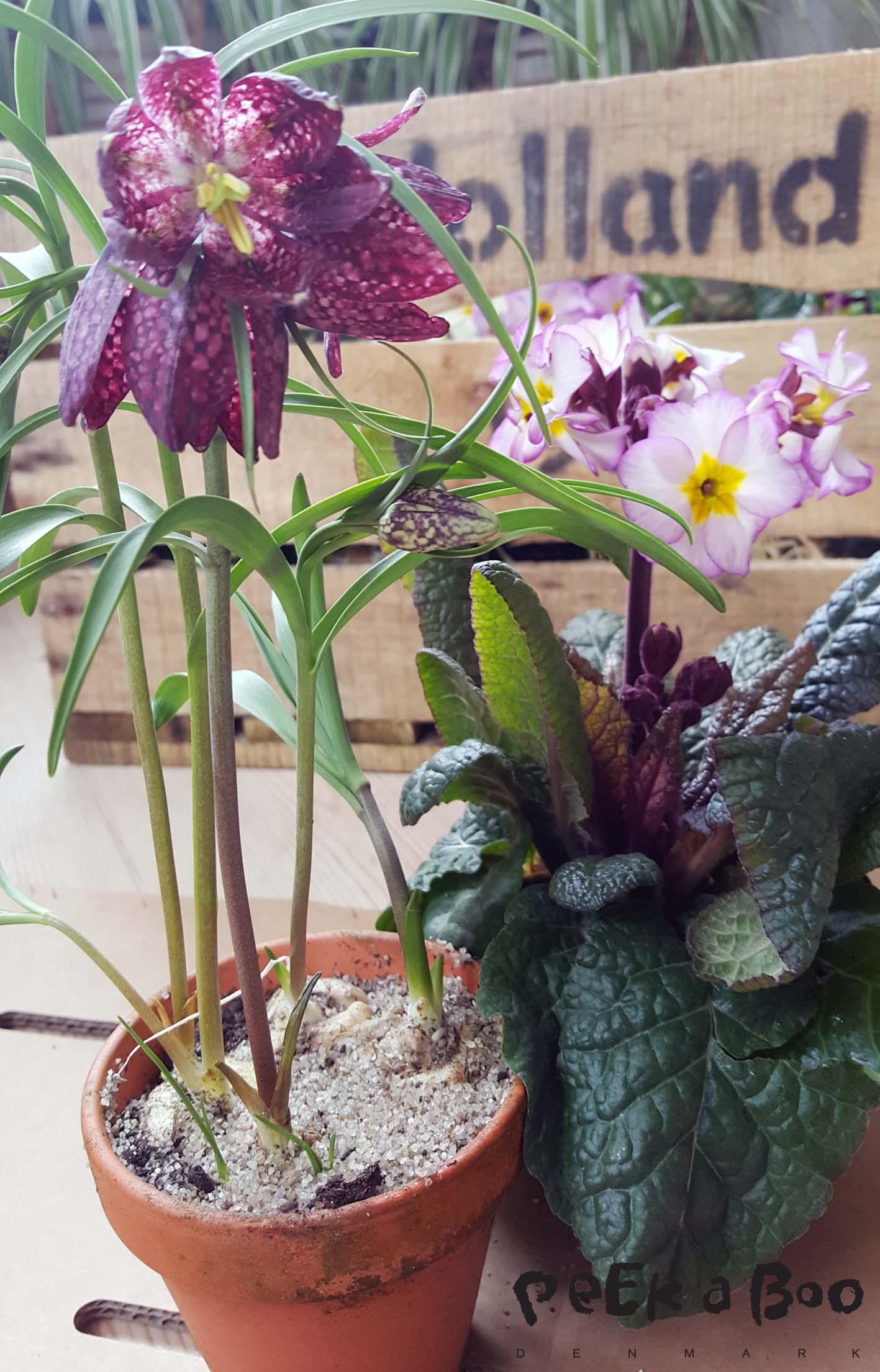 """en af mine """"alltime favorites"""" er vibeæg. (fritillaria meleagris)"""