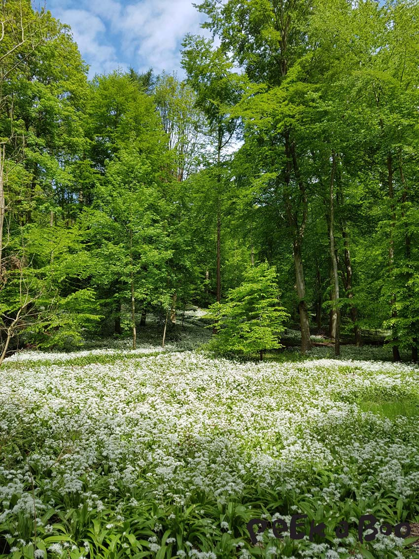 Ramsons in the forest of Ledreborg.