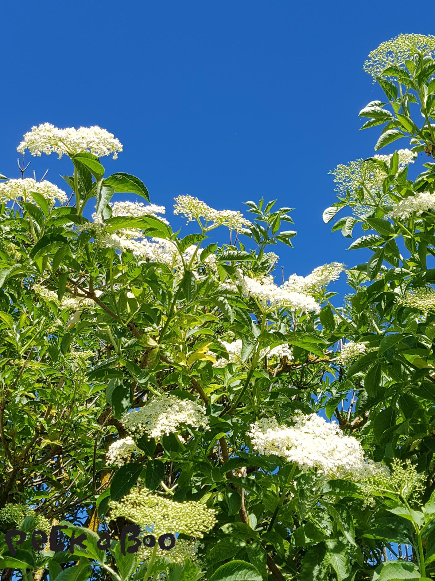 Blue sky and elderflowers in bloom. #peekaboonature #beautifulplanetdk