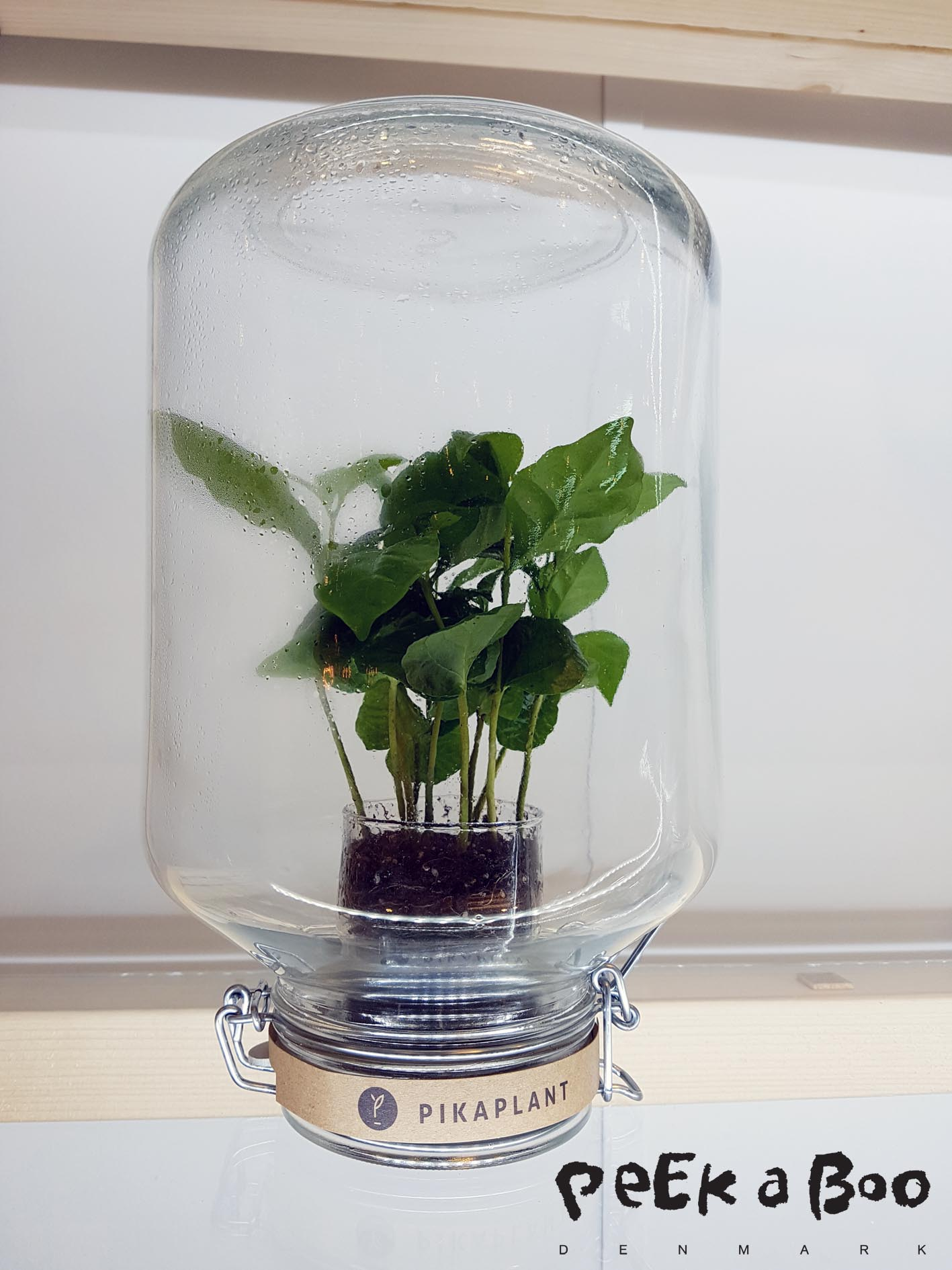 Pikaplants from Amsterdam. Coffee plants in a jar.