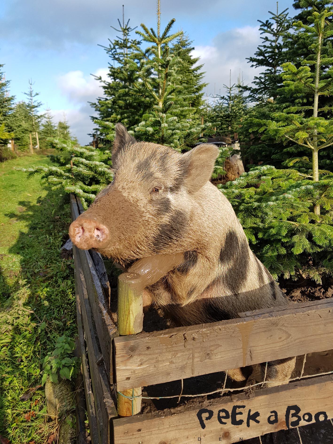 Og ja, vi spiser faktisk gris....så det hjælper ikke at stå og prøve at charme sig ind på os ;-).