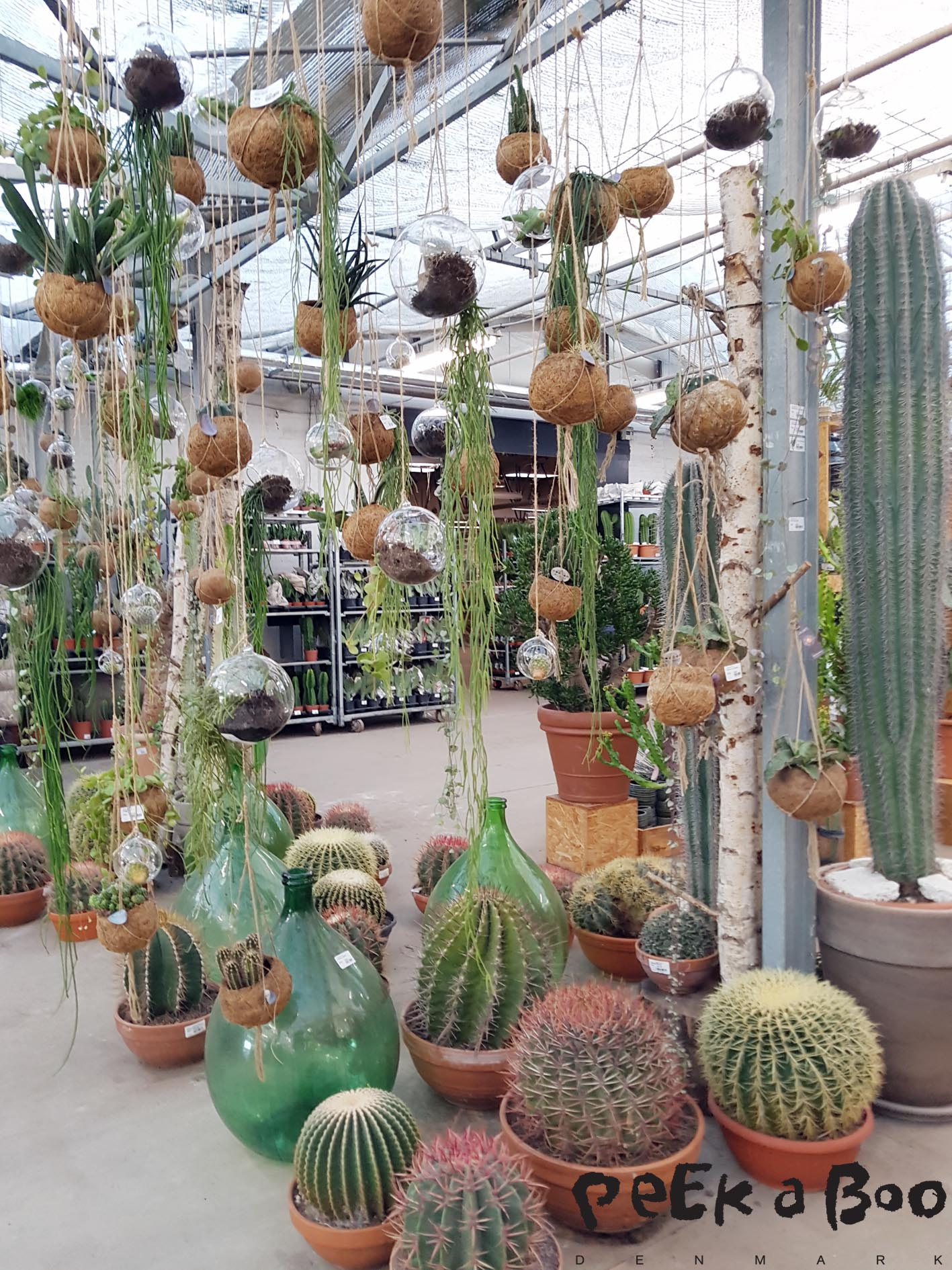 Lot's of hanging plants and giant cactus were the first sight meeting me when I entered JH engros Plants.