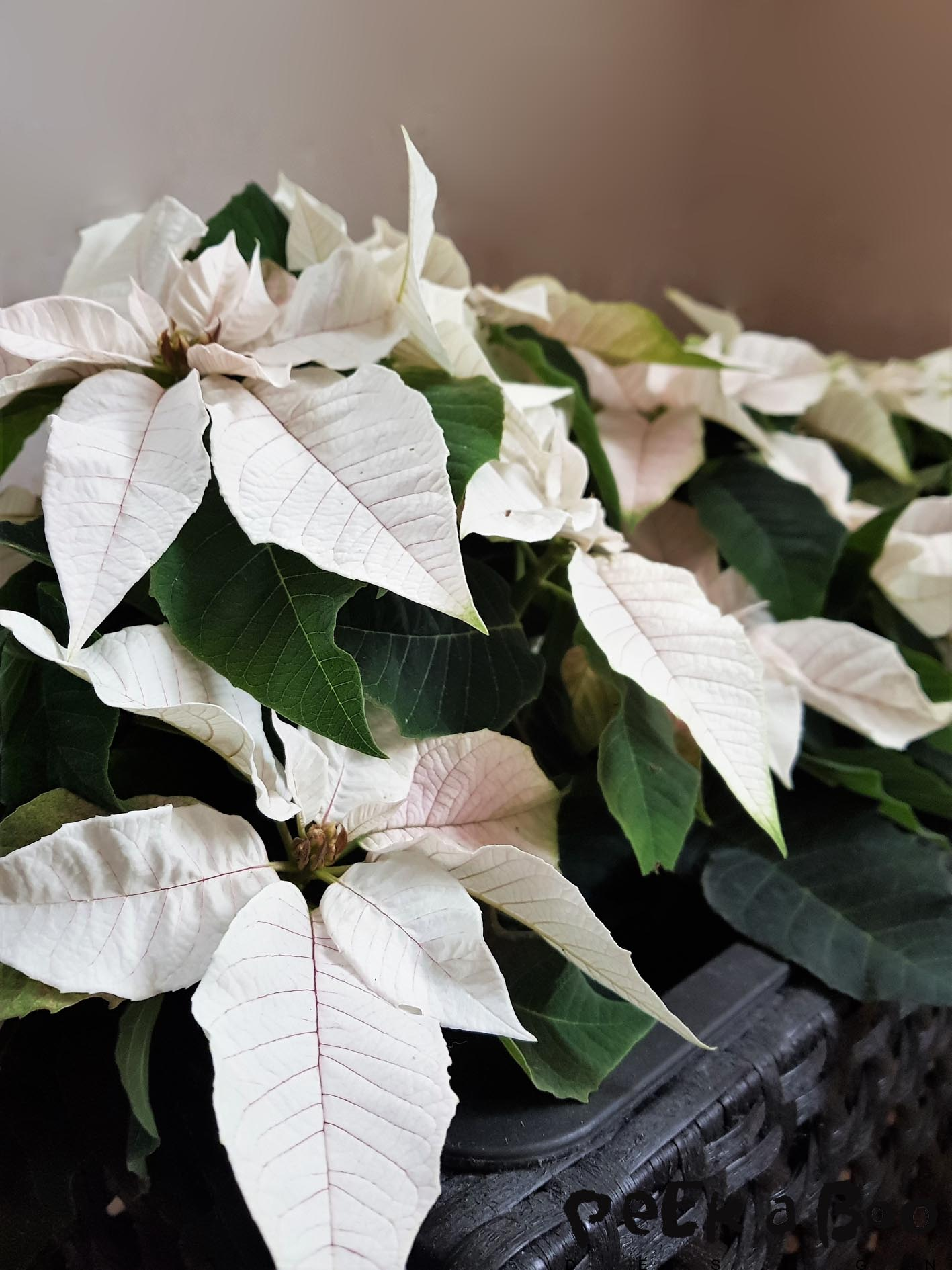 The white poinsettia is not JUST white, it has got a lot of other huges...turning into a pale rose and green.