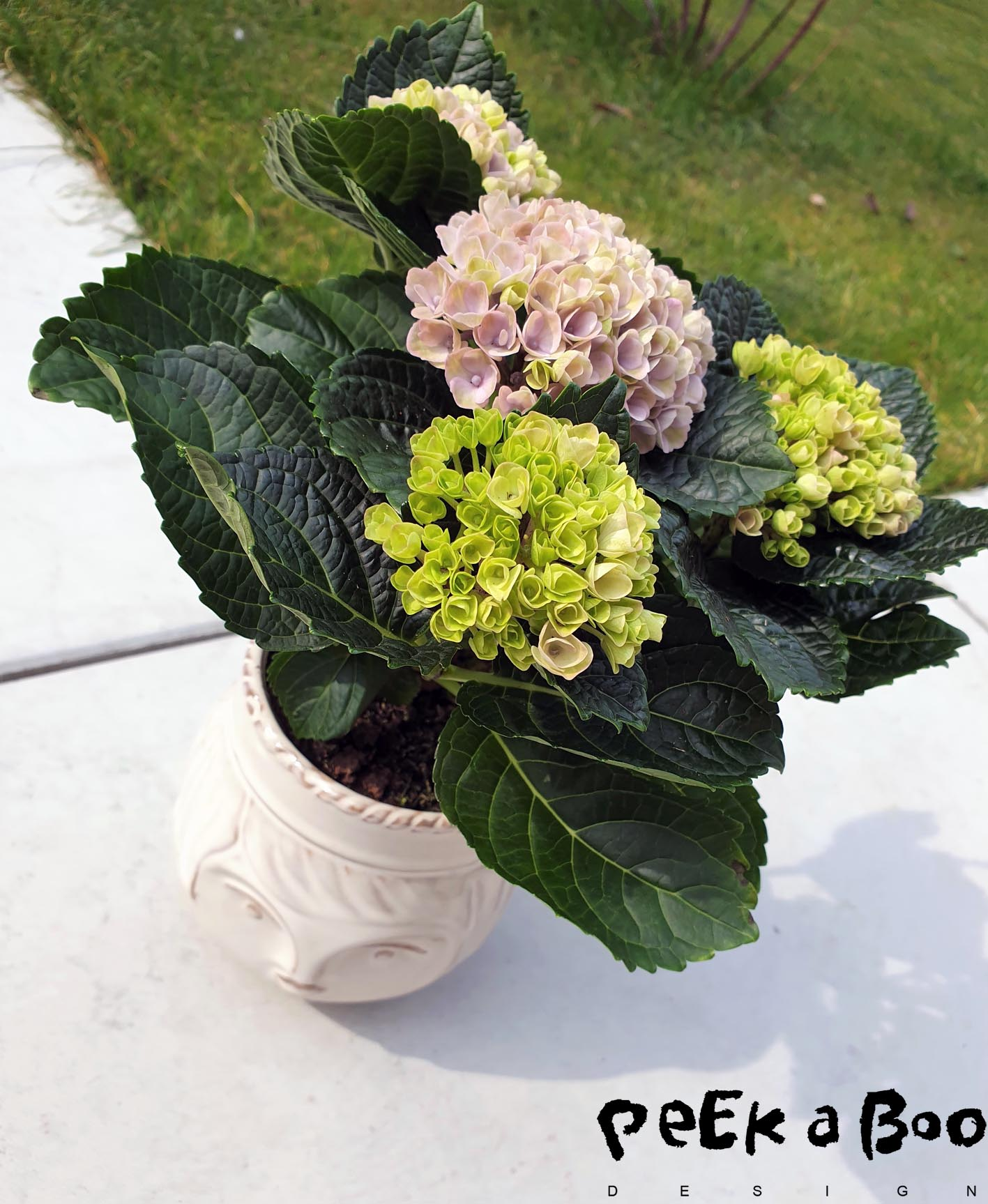 You just can't get enough of these pretty hydrangeas.