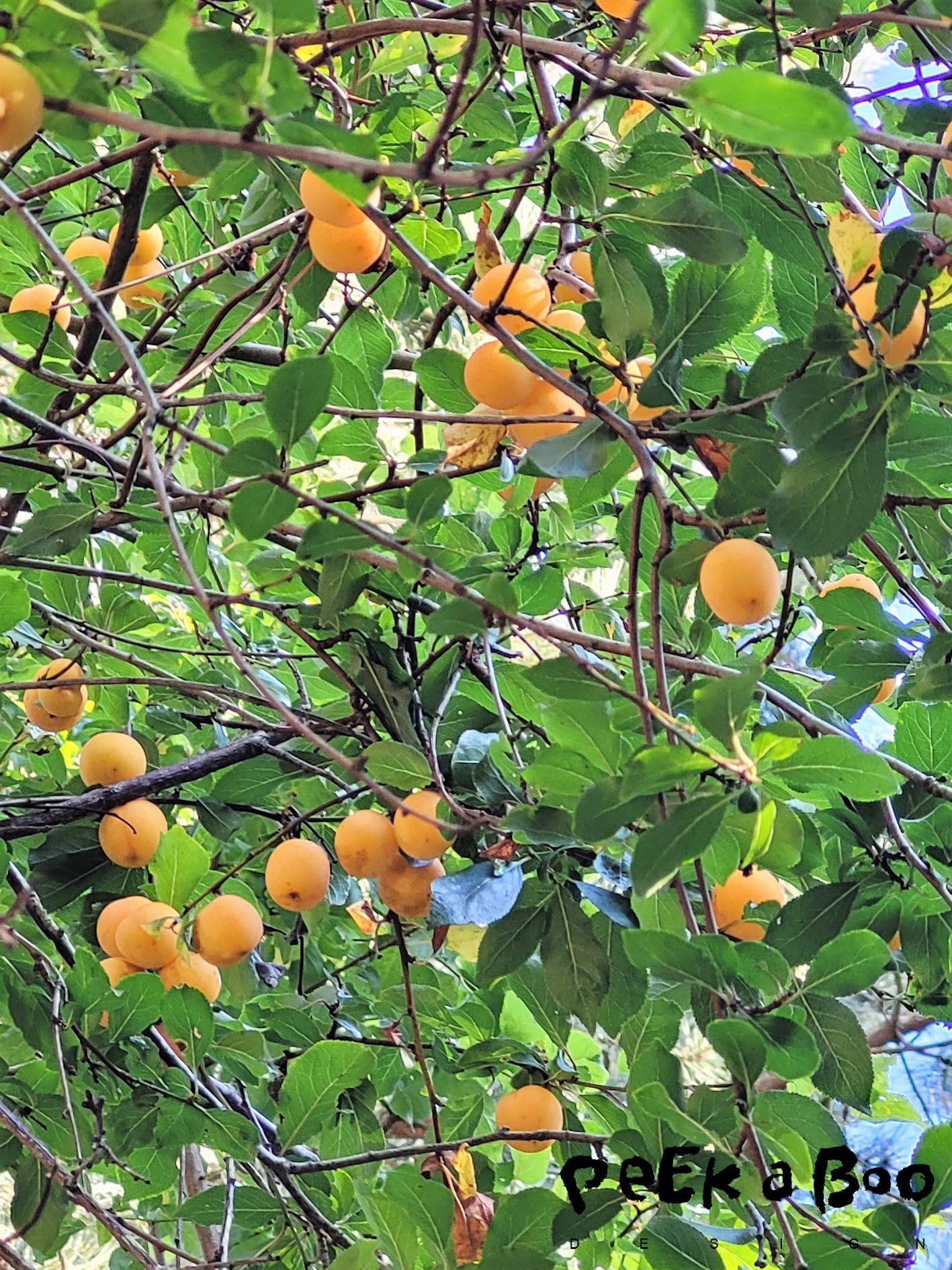 Mirabel - Prunus domestica