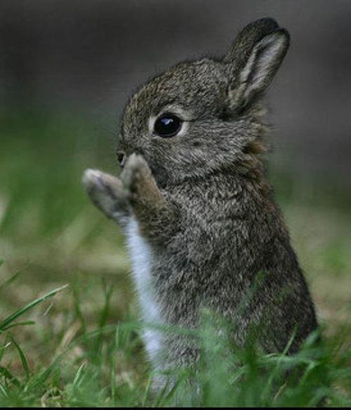 baby_rabbit_492_cute_animal