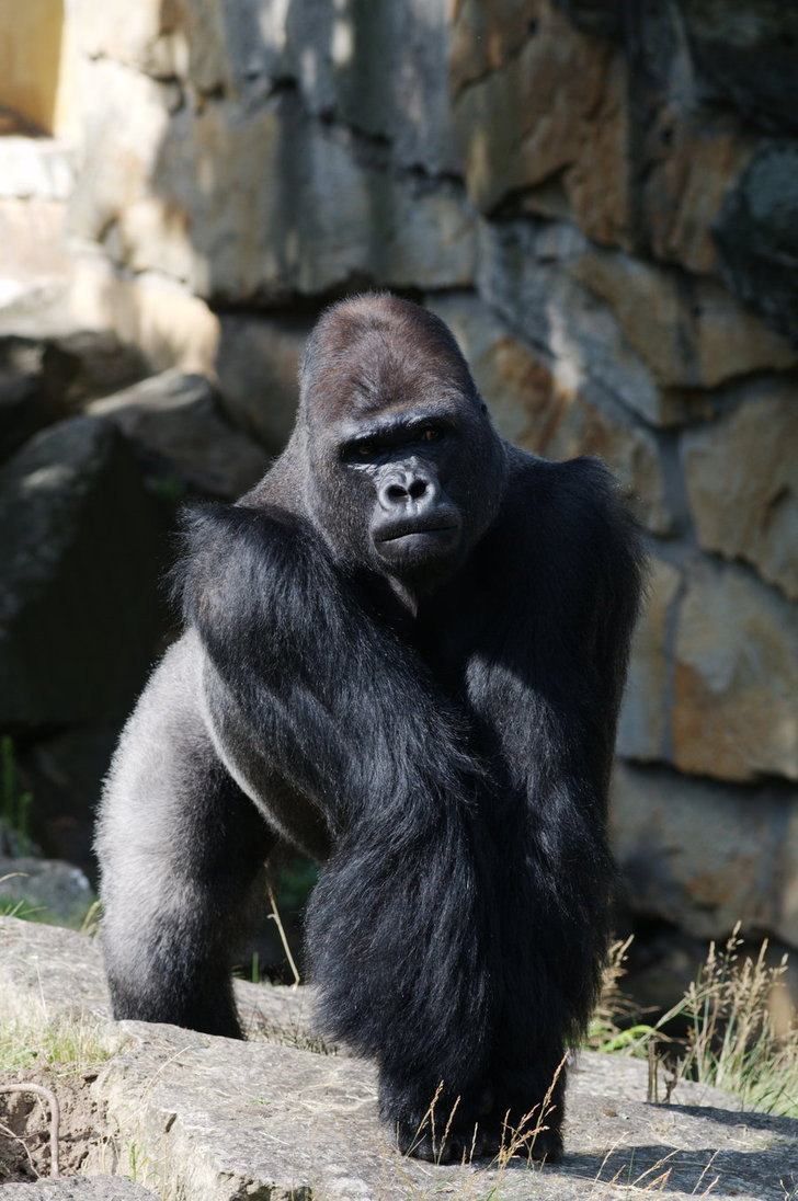 angry_gorilla_by_m_flame-d332uo8