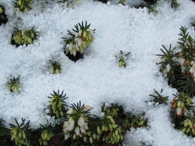 Lyng og sne