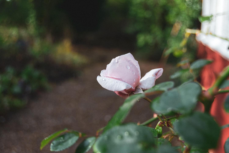 rose, drops, raindrops, dråber, regndråber, rosebud, rosenknop