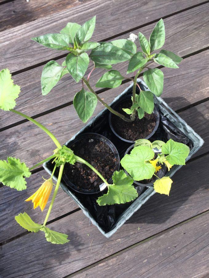 oekologisk-friland-agurk-sammen-med-groen-squas-og-en-roed-solsikke