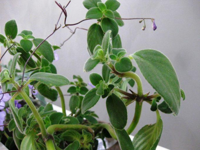 streptocarpus-saxorum-blade