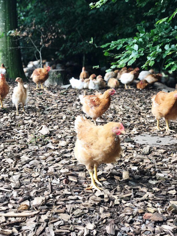 kyllinger_i_kyllingegaarden