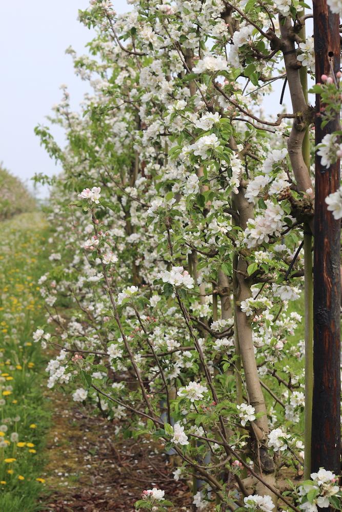 Æbletræer i blomst på fejø