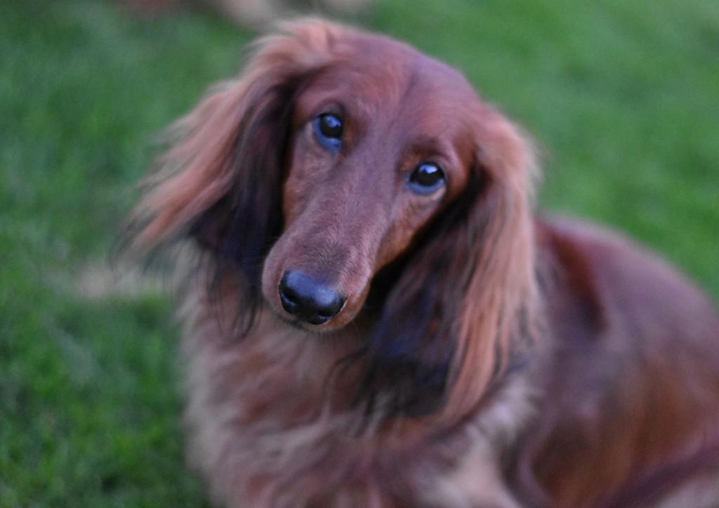 adoptere en hund