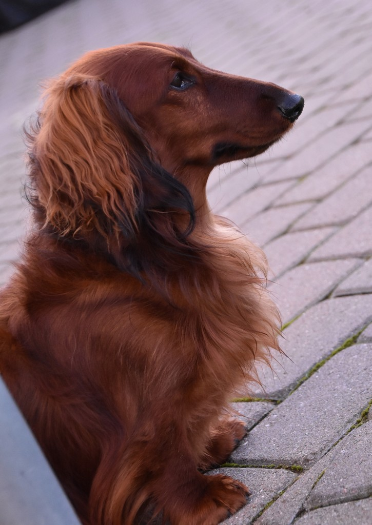 Pelle - Adoptere en hund