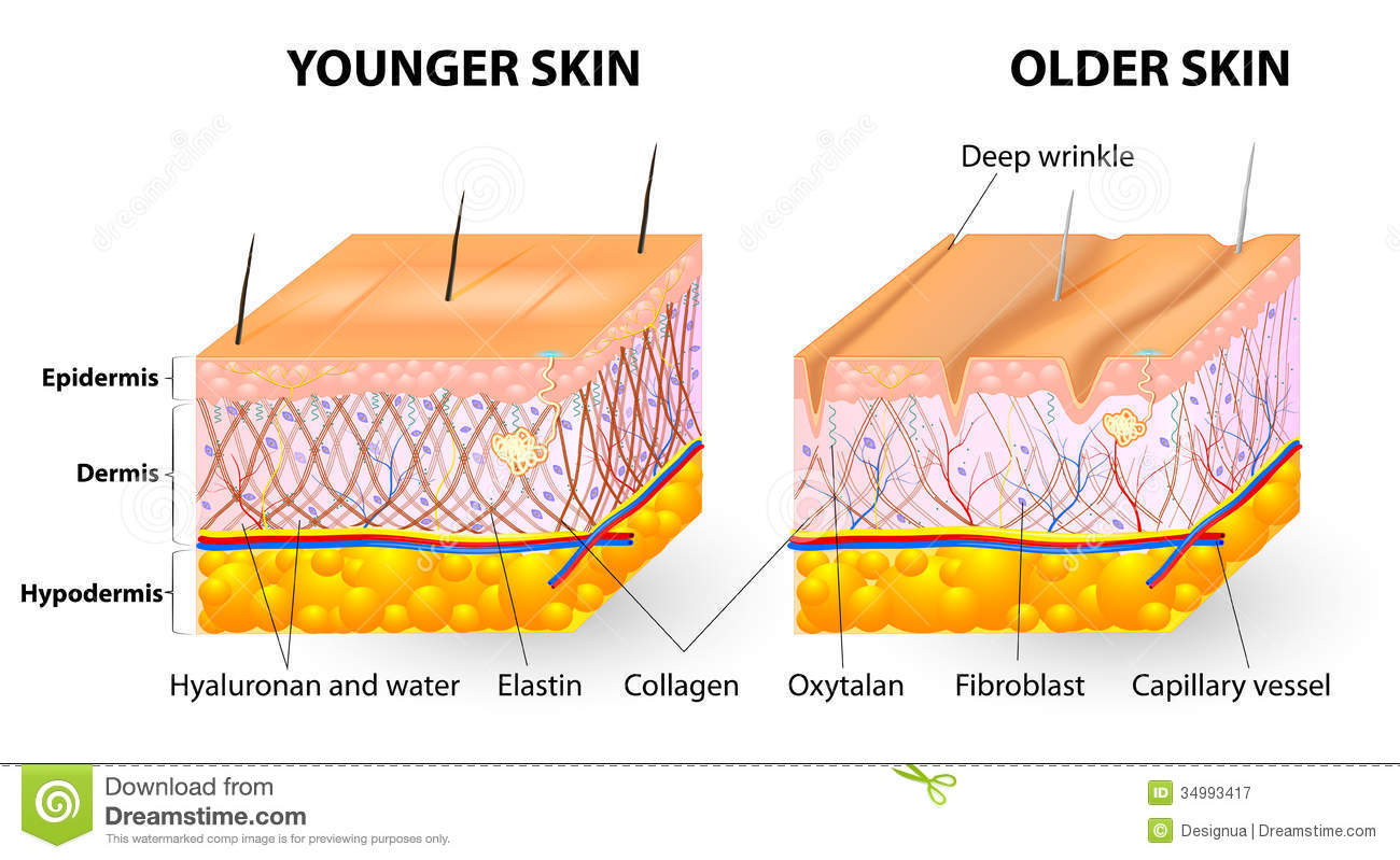 skin-aging-visual-representation-changes-over-lifetime-collagen-elastin-form-structure-dermis-making-tight-34993417