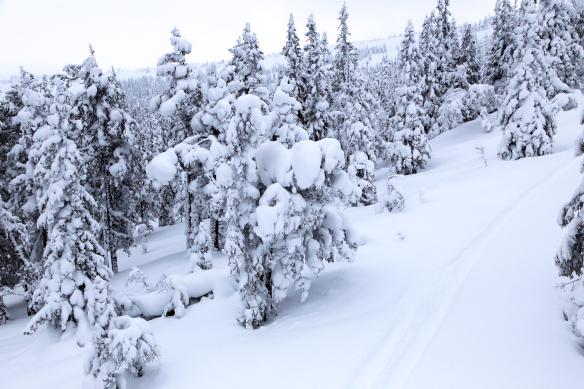 Stoten sne traer et spor