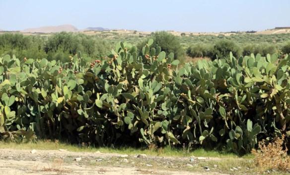 Tunesien_kaktusfrugter