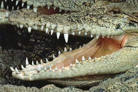 Tænder og krokodille