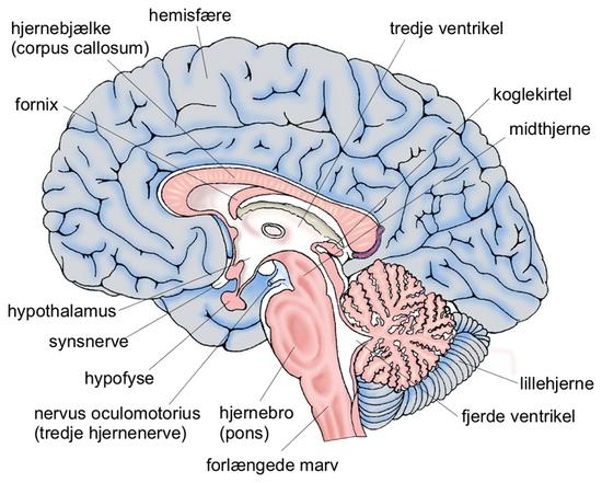 Hjernefitness Grafik Hjernen Fra Den Store Danske