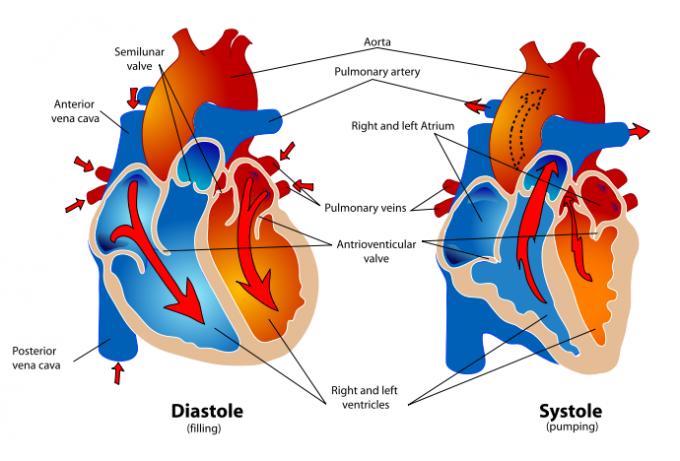 cardio cardiac cycle 290783 cliparthut free image