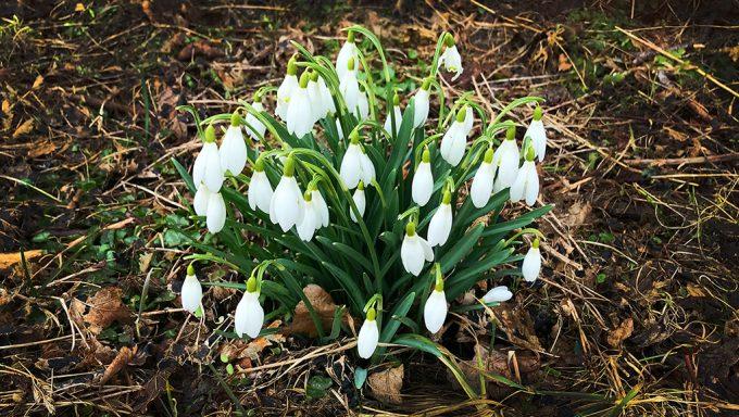 Rigtig god påske 2018 vintergækker