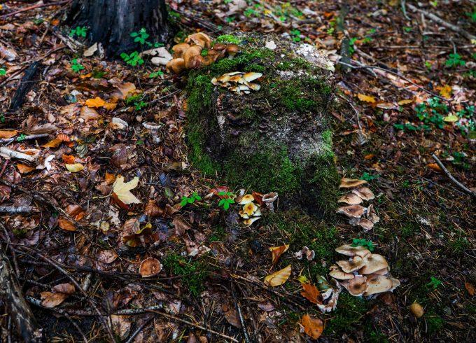Efteraar_Skov_Svampe_Mushrooms_Forrest_Nature_Marina_Aagaard_blog_photo