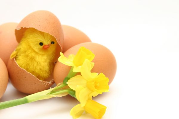 chick_eggshell.jpg.pagespeed.ce.nyw2KryYP3